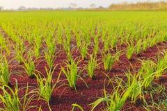Risväxt och myggaormbunke Arkivbild