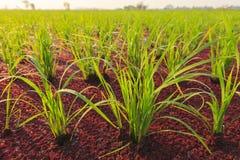 Risväxt och myggaormbunke Royaltyfria Foton
