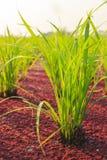 Risväxt och myggaormbunke Royaltyfri Fotografi