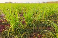 Risväxt och myggaormbunke Arkivfoto