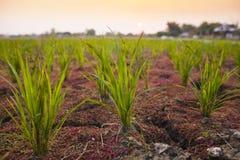 Risväxt på risfältfält Royaltyfria Bilder