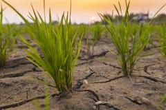 Risväxt på risfältfält Royaltyfri Bild