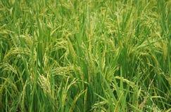 Risväxten Arkivfoton