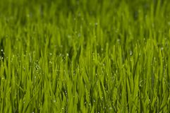Risväxten lämnar med droppar royaltyfri foto