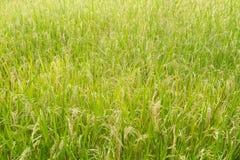 Risväxter i Paddy Field Royaltyfri Bild