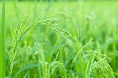 Risväxter i Paddy Field Fotografering för Bildbyråer