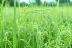 Risväxter i Paddy Field Arkivbilder