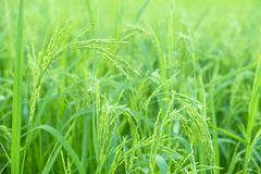 Risväxter i Paddy Field Arkivbild