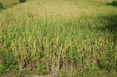 Risväxter på risfältfält, slut upp Royaltyfri Fotografi