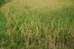 Risväxter på risfältfält, slut upp Fotografering för Bildbyråer