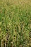 Risväxter på risfältfält, slut upp Royaltyfria Bilder