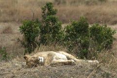Risveglio di Don't la leonessa di sonno Fotografia Stock Libera da Diritti