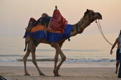 rit van de kust de kleurrijke kameel in avond blauw drapes Royalty-vrije Stock Foto's