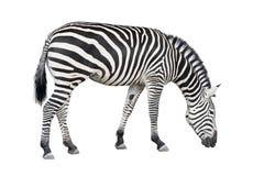 Ritaglio della zebra Fotografie Stock
