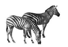 Ritaglio delle coppie della zebra Fotografie Stock