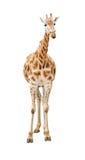 Ritaglio di vista frontale della giraffa Immagine Stock