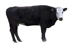 Ritaglio nero della mucca Fotografie Stock Libere da Diritti