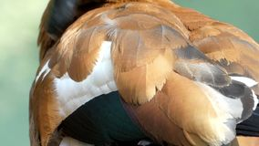 Ritocchi marrone chiaro di un'anatra la sua piuma dell'ala in un lago nel slo-Mo archivi video