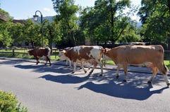 Ritorno delle mucche dal pascolo Fotografie Stock