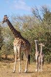 Ritratti completi del corpo della famiglia masai della giraffa, con la madre e la giovane prole due nel paesaggio africano del ce fotografia stock libera da diritti