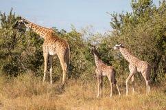 Ritratti completi del corpo della famiglia masai della giraffa, con la madre e la giovane prole due nel paesaggio africano del ce fotografia stock