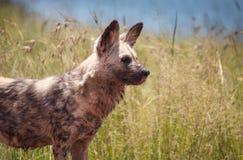 Ritratti del cane selvaggio Fotografia Stock