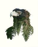 Ritratti di doppia esposizione di Eagle e del ramo di albero Immagini Stock