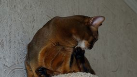 Ritratto Abyssinian del gatto archivi video