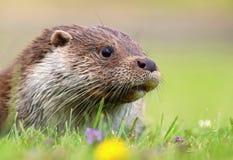 Ritratto adorabile della lontra Fotografia Stock Libera da Diritti