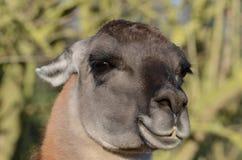 Ritratto adulto del lama Fotografie Stock