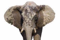 Ritratto africano dell'elefante del cespuglio isolato nel fondo bianco fotografie stock