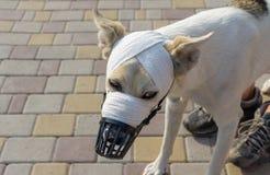 Ritratto all'aperto del cane di razza mista in museruola con il muso bendato immagine stock libera da diritti