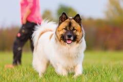 Ritratto all'aperto di un cane di elo immagini stock