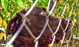 Ritratto alto vicino del cane sveglio ingabbiato di Labrador fotografie stock libere da diritti