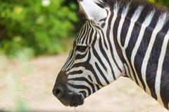 Ritratto alto vicino della zebra Animale selvatico in natura fotografie stock