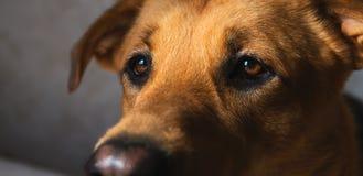 Ritratto alto vicino di un cane ibrido del cane nell'interno fotografie stock libere da diritti