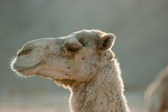 Ritratto alto vicino di una testa del dromedario del cammello fotografia stock