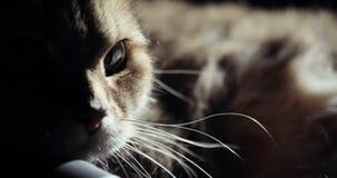 Ritratto animale del gatto britannico dorato con una vasta gamma di emozioni stock footage