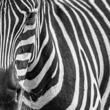 Ritratto animale dello zebre Fotografia Stock Libera da Diritti