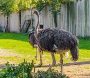 Ritratto animale di uno struzzo comune femminile, un grande uccello non-volatore dall'Africa immagine stock