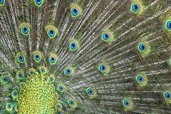 Ritratto aperto della ruota della piuma meravigliosa dell'uccello del pavone Fotografia Stock