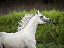 Ritratto arabo bianco del cavallo nel moto Fotografia Stock Libera da Diritti