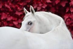 Ritratto arabo bianco del cavallo sul fondo rosso del fogliame fotografia stock libera da diritti