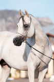 Ritratto arabo bianco dello stallion del cavallo Fotografia Stock