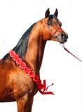 Ritratto arabo di razza dello stallone isolato Immagine Stock Libera da Diritti