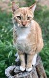 Ritratto arancione del gatto fotografie stock libere da diritti