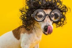 Ritratto astuto del cane del nerd di professore in parrucca e vetri ricci neri Leccatura della museruola animale domestico divert fotografie stock