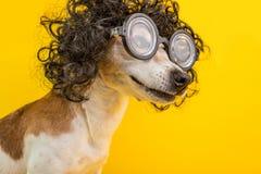 Ritratto astuto sorridente del cane del nerd di professore in parrucca e vetri ricci neri animale domestico divertente Fondo gial immagini stock