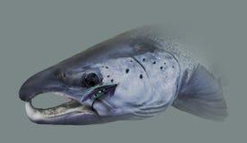 Ritratto atlantico di Salmon Fishing Immagine Stock Libera da Diritti