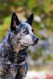 Ritratto australiano del maschio del cane del bestiame Fotografia Stock Libera da Diritti